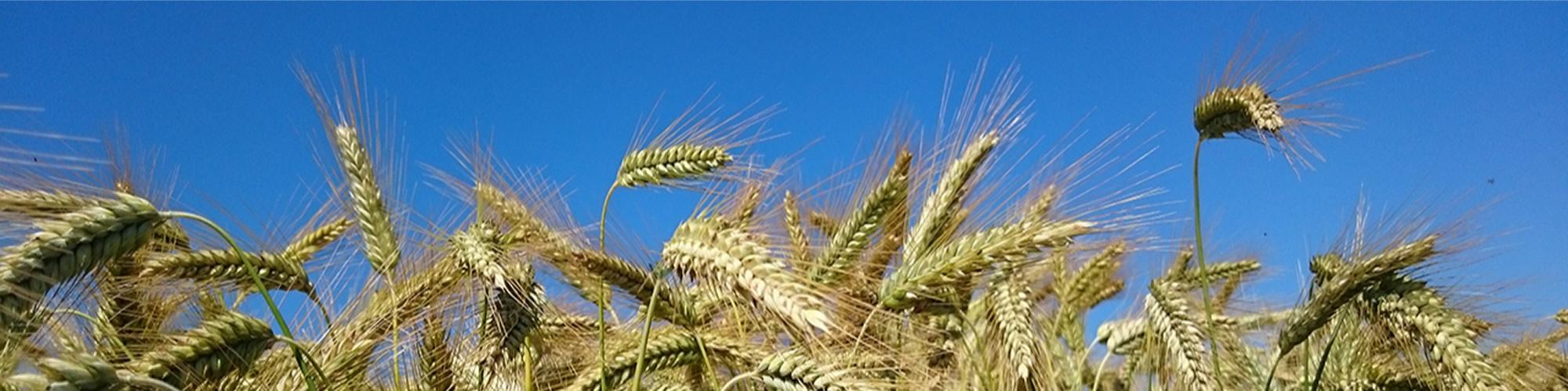 TriTicale : plante annuelle de la famille des Poaceae